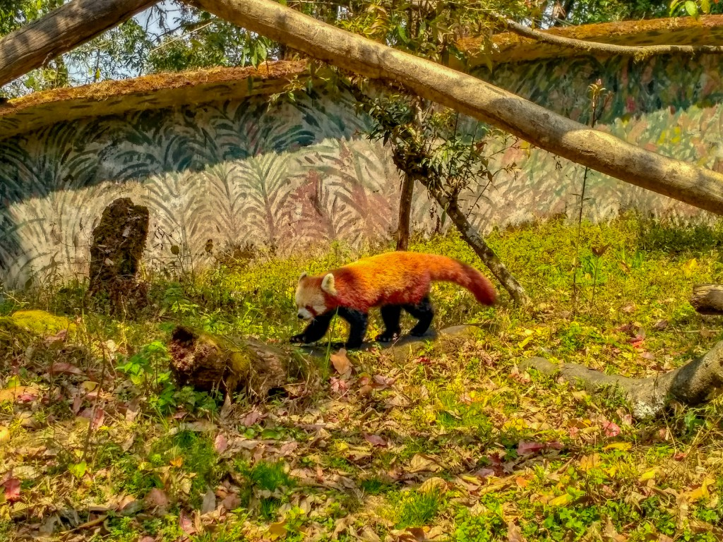 Red Panda at the Zoo - Places to visit in Darjeeling