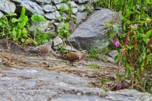 Himalayan Dove Bird