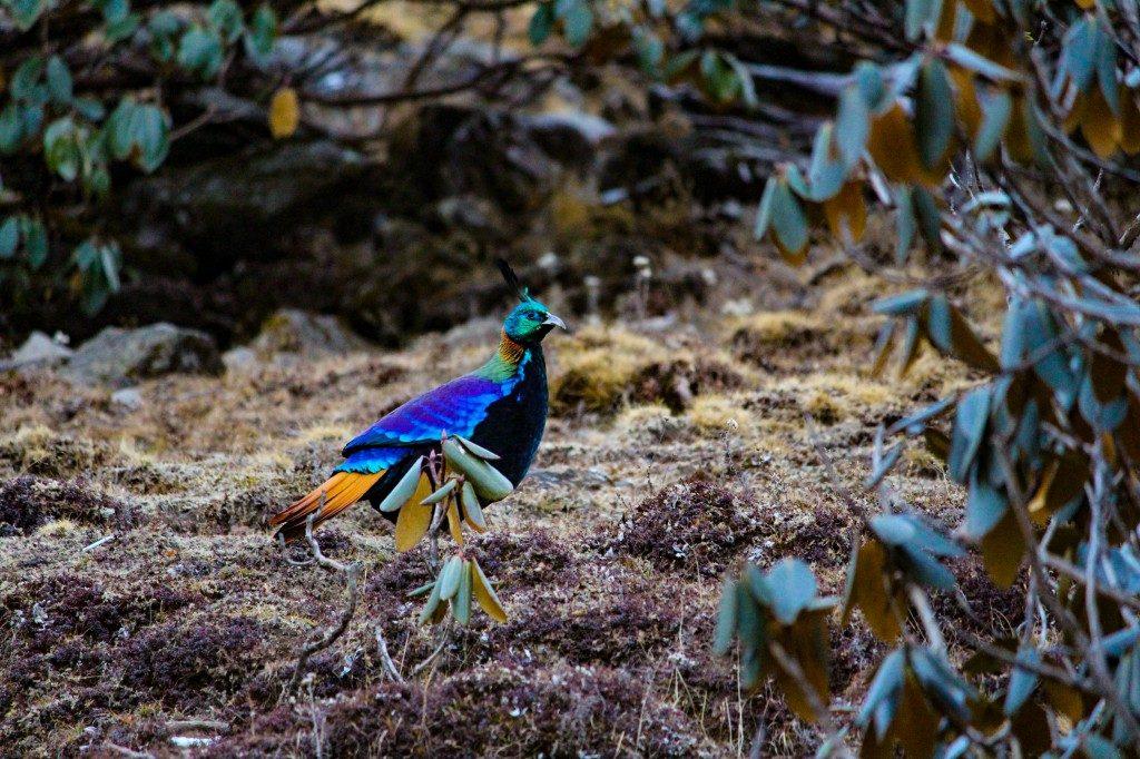 Himalayan Monal Bird on the trail - Deoriatal Chandrashila Trek