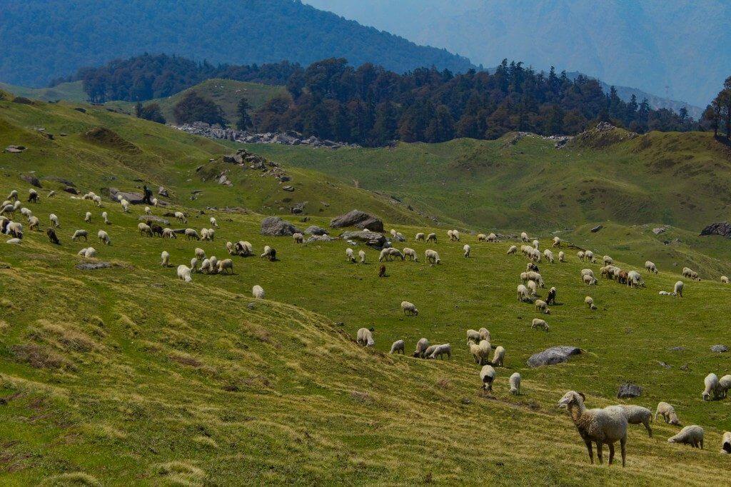 Gorson Bugyal full of goats and sheeps - Pangarchulla Peak
