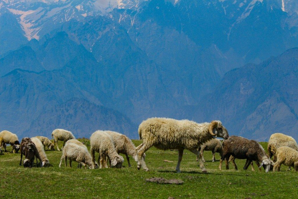 A flock of sheeps - Pangarchulla Peak